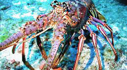 Caribbean Spiny Lobster habitat study to be conducted by DEMA.